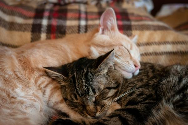 albury wodonga animal rescue adopt a cat kitten